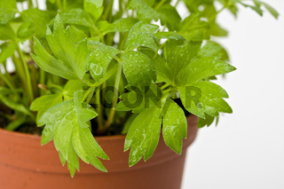 a lovage plant in a pot
