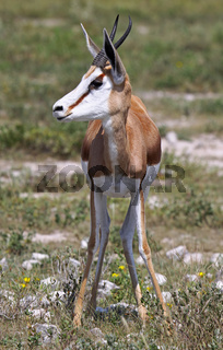 Springbock, Namibia, Antidorcas marsupialis, Springbok
