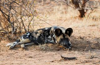 Afrikanische Wildhunde im Etosha-Nationalpark in Namibia Südafrika
