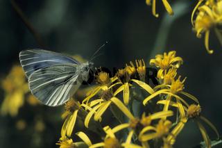 Grosser Kohlweissling, Pieris brassicae, Large White, Cabbage Butterfly, Cabbage White