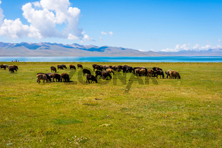 Herd of sheep by Song kul lake