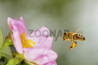 Honigbiene mit gefülltem Pollenkörbchen