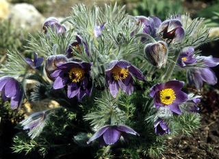 Pulsatilla vulgaris, Küchenschelle, pasque flower