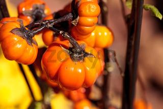Pumpkin tree scientifically known as Solanum integrifolium