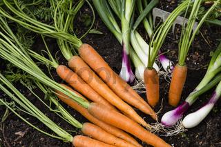 Gemüseernte im Garten, harvest of vegetables in a garden