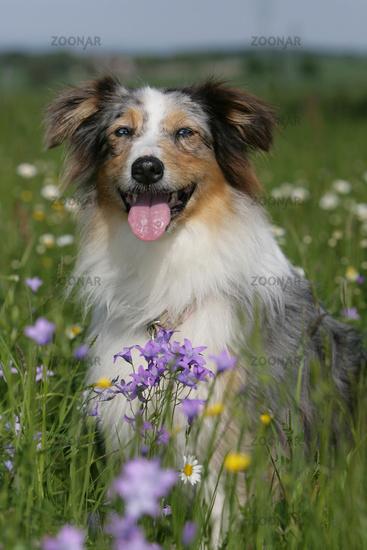Australian shepherd dog sitting between flowers