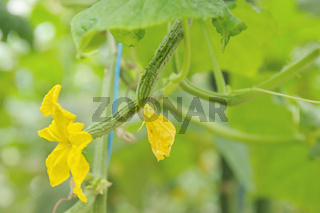 Flowers of cucumbers in greenhouses