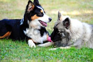 Spielende Hunde toben auf Wiese