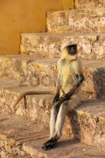 Young gray langur sitting on the stairs in Amber Fort, Jaipur, Rajasthan, India