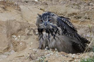 Langeweile... Europäischer Uhu *Bubo bubo* kauert aufgeplustert in einer Sandwand