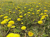 bright yellow dandelion flowers in frog perspective