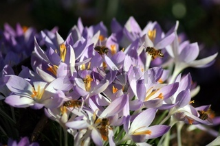 Nektar sammelnde Honigbienen auf violetten Krokussen