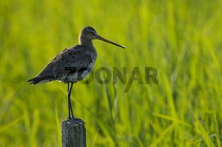 Uferschnepfe, Limosa limosa, Black-tailed Godwit, Insel Texel, Holland, Niederlande