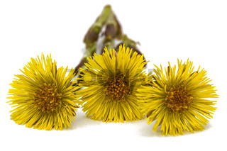 Flowers of foalfoot (Tussilago farfara),  isolated on white background
