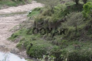 Masai Mara Leopard am Flussufer.