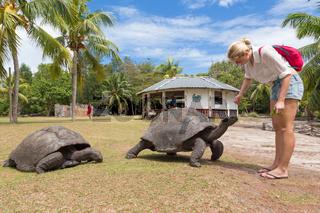 Tourist feeding Aldabra giant tortoises on Curieuse island, Seychelles.