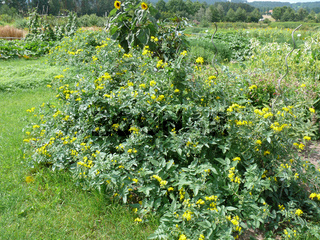 Lycopersicon peruvianum, Wilde Tomate