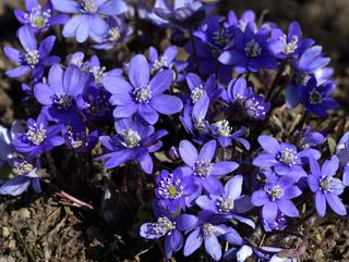 Leberbluemchen; Anemone hepatica; hepatica nobilis;  liverleaf; liverwort; kidneywort;