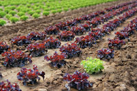 Salatfeld rot-grün