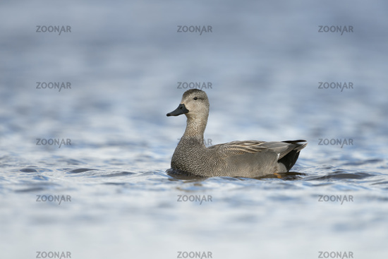 courting... Gadwall Duck *Anas strepera*
