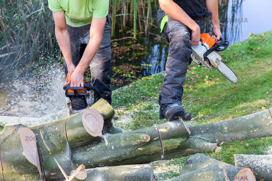 Two men sawing beech tree with chain saw