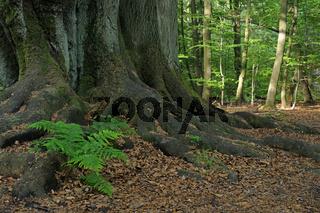 Waldfarn, Athyrium, waechst zwischen bemoostem Stamm einer alten