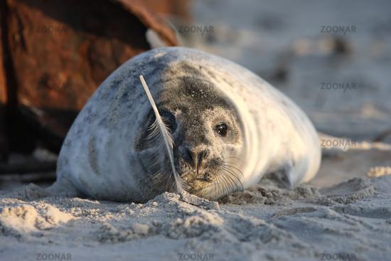 Grey Seal Audibles at the beach