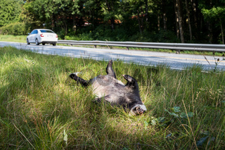 Dead badger killed by car, car driving in background horizontal image