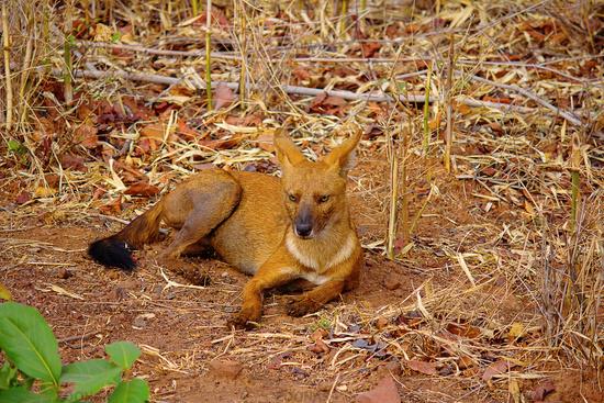 Indian Wild Dog, Cuon alpinus, Tadoba-Andheri Tiger Reserve