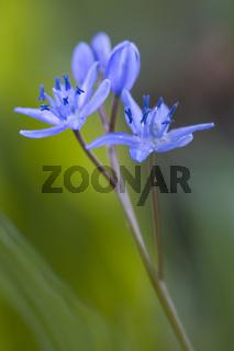 Zweiblaettriger Blaustern, Zweiblaettrige Meerzwiebel, Scilla bifolia, Alpine squill