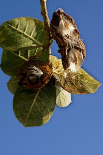 Oscher (Calotropis procera)