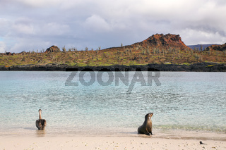 Brown pelican and Galapagos sea lion on the beach of Chinese Hat island, Galapagos National Park, Ecuador.