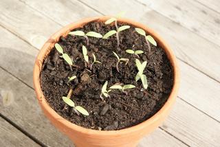 Solanum lycopersicum, Tomaten, tomatoes
