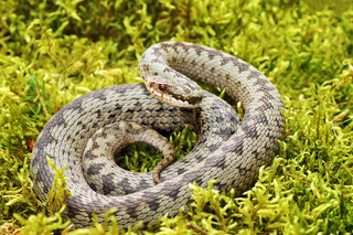common european viper standing on green moss ( Vipera berus )