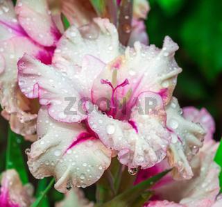 pink flowers gladiolus