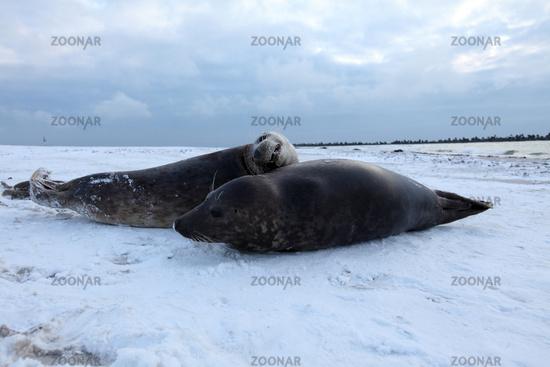 Grey Seal Helgoland
