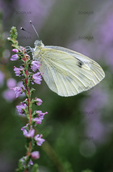 Green-veined White, the eggs are laid singly on a wide range of foodplants
