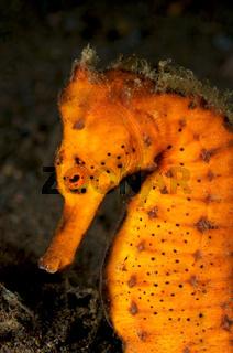 oranges Ästuar Seepferdchen
