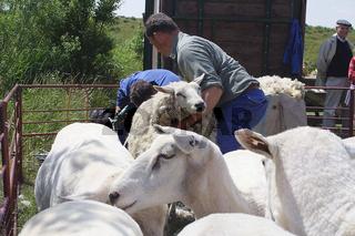 schafzuechter bei schafschur, schafzucht, sheep farmer is sheepshearing, sheep breeding,