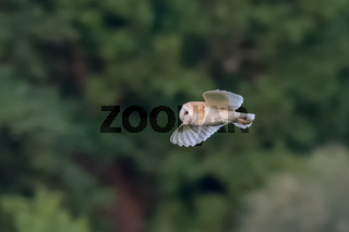 Side view of a single Barn Owl (Tyto alba) flying across green background