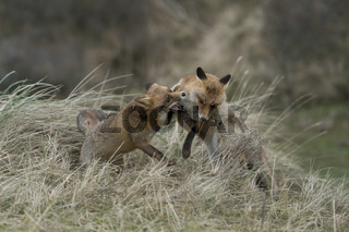 Rauferei... Rotfüchse *Vulpes vulpes* streiten miteinander, Beißerei