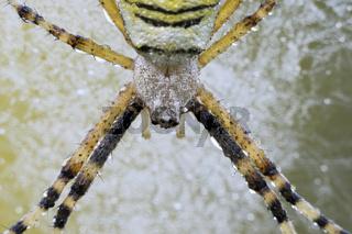 Wespenspinne (Argiope-bruennichi)