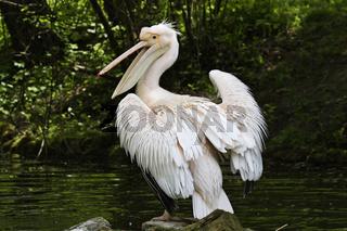 Rosapelikan, Pelecanus onocrotalus, Great White Pelican