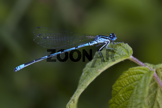 Hufeisenazurjungfer (Coenagrion puella) männchen - Azure Damselfly (Coenagrion puella) male