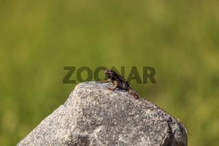 Common fence lizard