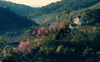 Dalat in spring, sakura flower