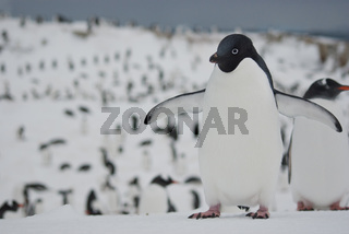 Adelie penguin who stands in the snow against the backdrop of the cluster of penguins gathered for the night