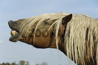 Sueddeutsche Kaltblutpferde, flehmender Hengst, Equus ferus caballus, South German Draught Horse, stallion flehmening