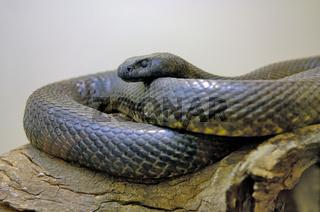 Inland Taipan, Oxyuranus microlepidotus, Northern Territory, Australien,