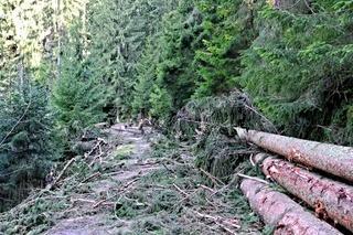 Holzfällarbeiten im Schwarzwald